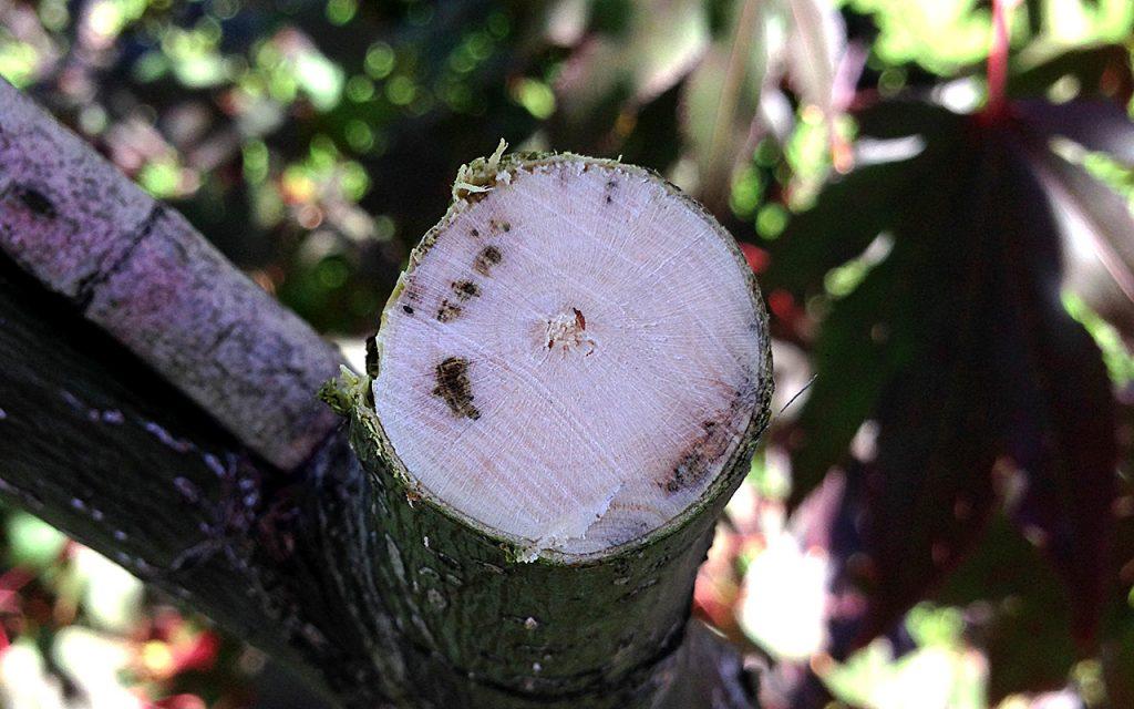 Pilz am Fächerahorn