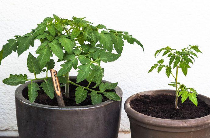 Tomaten auf der Terrasse