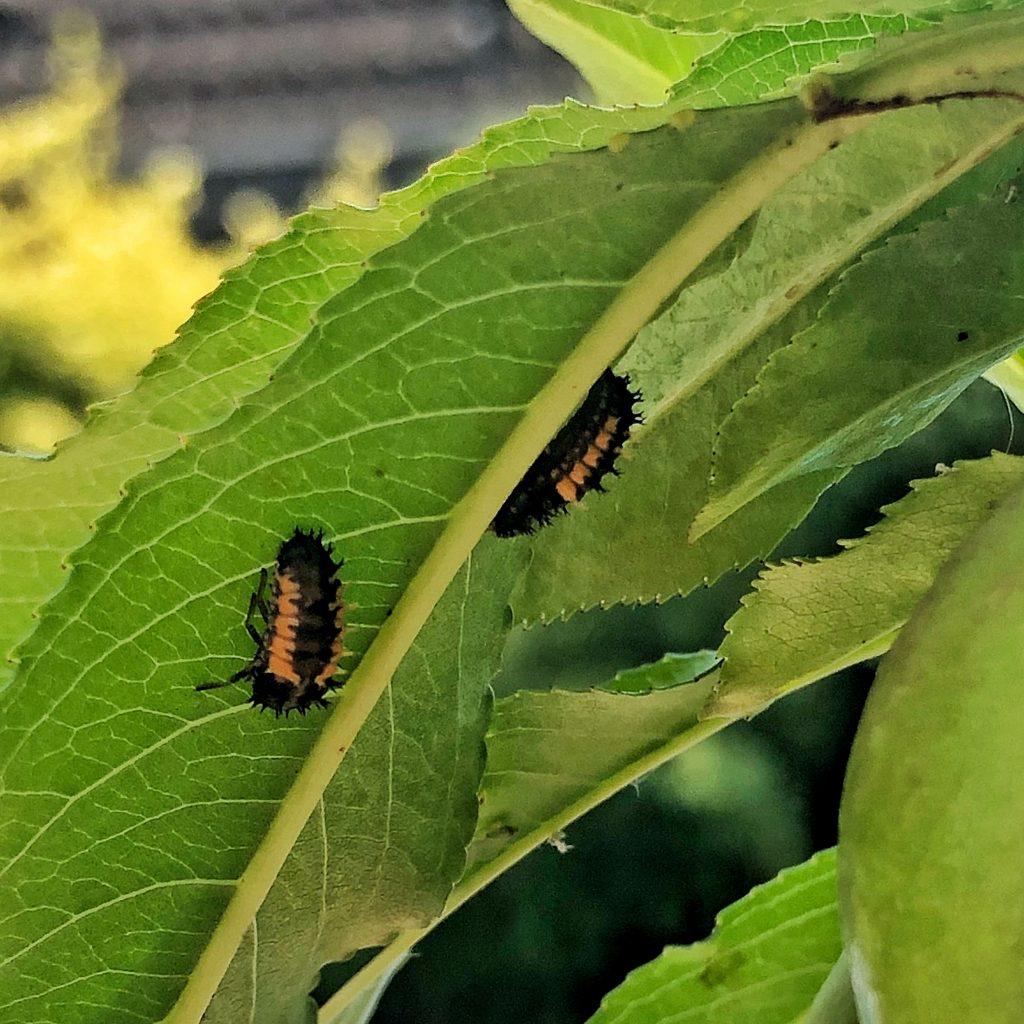 Marienkäferlarven - bienenfreundlich