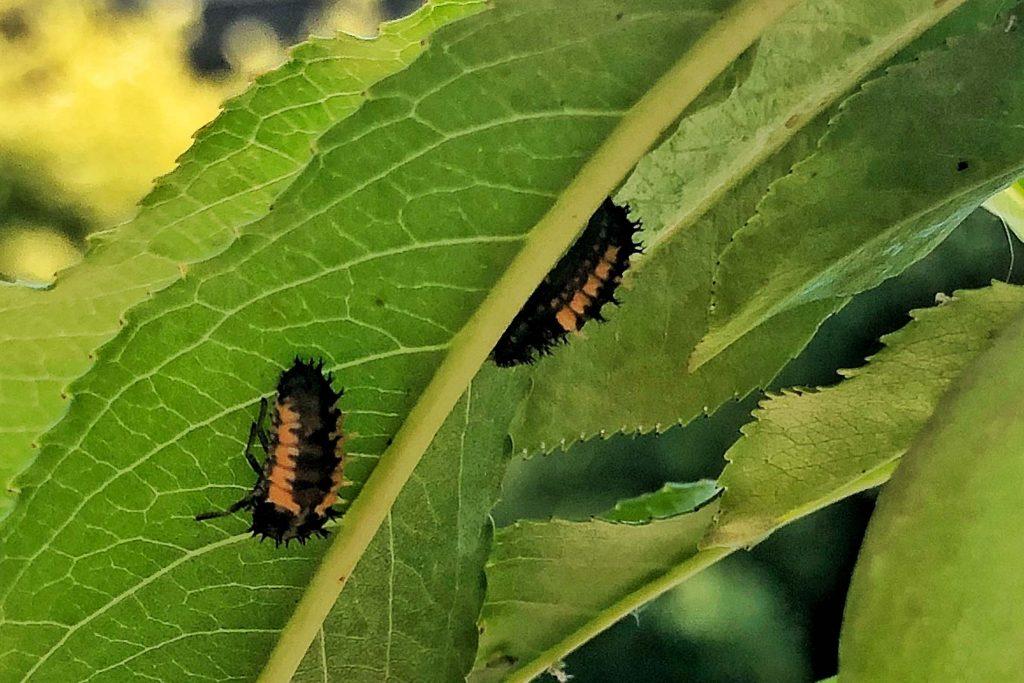 Schädlingsbekämpfung mit Marienkäferlarven