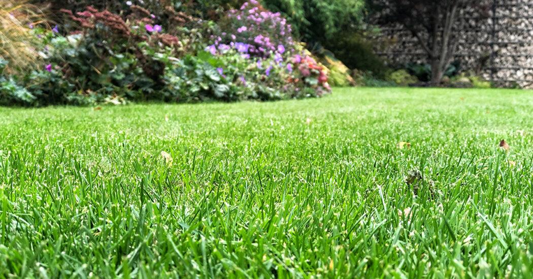 Gut gedüngter Rasen