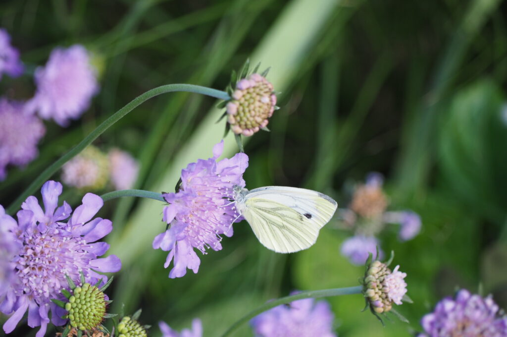 Schmetterlingsmagnet Skabiose