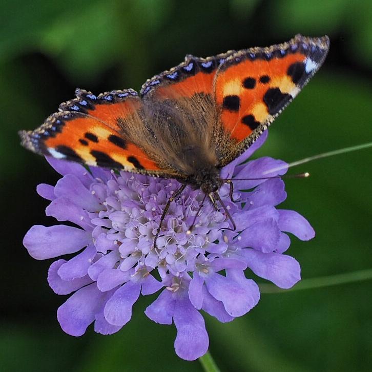 Staude Skabiose mit Schmetterling